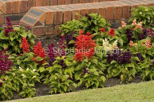 Multi-coloured flowers of Salvia splendens.