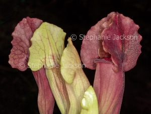 Sarracenia leucophylla, a carnivorous, insect-eating plant that's commonly known as a Pitcher Plant.