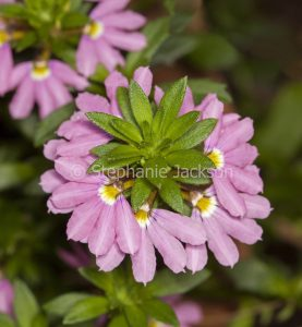 Cluster of pink flowers of Scaevola aemula 'Pink Charm', an Australian native ground cover / rockery plant that's commonly known as a 'Fan Flower'.