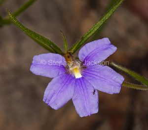 Purple flower of Scaevola ramosissima, Snake Flower / Fanflower, in Blackdown Tablelands National Park, Queensland Australia.