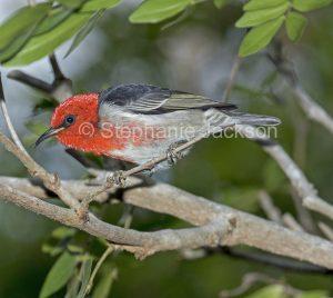 Australian backyard birds, male scarlet honeyeater, Myzomela sanguinolenta, in Queensland Australia