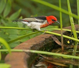 Australian birds, male scarlet honeyeater, Myzomela sanguinolenta, at a garden pond in Queensland Australia