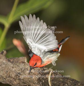 Male Scarlet Honeyeater, Myzomela sanguinolenta, in flight in Queensland Australia.
