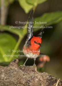Male scarlet honeyeater, Myzomela sanguinolenta, in Queensland Australia.