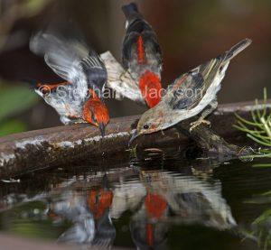 Australian birds, Scarlet honeyeaters, Myzomela sanguinolenta, at a garden bird bath in Queensland Australia