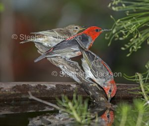 Australian birds, male and female scarlet honeyeater, Myzomela sanguinolenta, at a garden bird bath in Queensland Australia