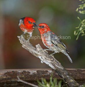 Australian birds, two male scarlet honeyeaters, Myzomela sanguinolenta, at a garden bird bath in Queensland Australia