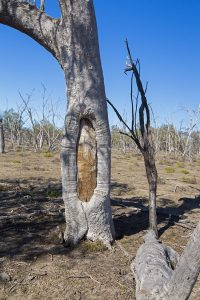 Dead and scarred tree with segment of trunk removed in past by aboriginal people - in Culga National Park in outback NSW Australia.