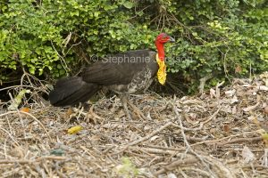 Male Scrub / Brush Turkey, Alectura lathami, on his nesting mound in woodlands at Keppel Sands in central Queensland Australia.