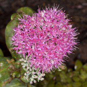Cluster of star-shaped bright pink flowers of drought tolerant succulent plant, Sedum spectabilis 'Neon'.