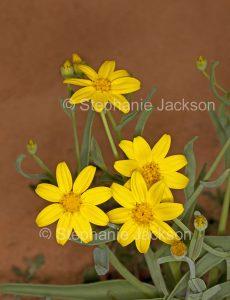 Yellow flowers of Senecio gregorii, Annual Yellowtop / Fleshy Groundsel in outback NSW Australia.