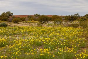 Australian outback landscape carpeted with yellow wildflowers, Senecio gregorii, Annual Yellowtop / Fleshy Groundsel, after rain in NSW Australia.