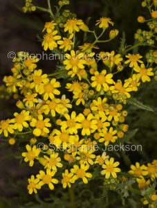 Australian wildflowers, cluster of yellow flowers of Senecio magnificus in outback South Australia.
