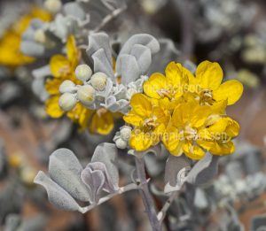 Yellow flowers and grey blue leaves of Senna artemisioides syn. Cassia, a flowering shrub in outback Queensland, Australia