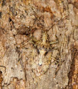 Shield bug, Bromocoris species, camouflaged on bark of trunk of eucalyptus / gum tree in Queensland Australia