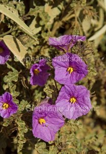 Purple flowers and spiny grey green leaves of Solanum petrophillum, rock nightshade in outback South Australia.