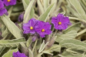 Purple flowers and hairy grey green leaves of Solanum quadriloculatum in outback South Australia.
