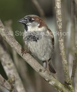 House Sparrow, Passer domesticus, in NSW Australia