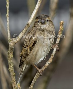 House Sparrow, Passer domesticus, wet after bathing under water of a garden sprinkler, in NSW Australia