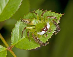 Male northern green jumping spider, Mopsus mormon, on the leaf of a rose bush in a garden in Queensland Australia.