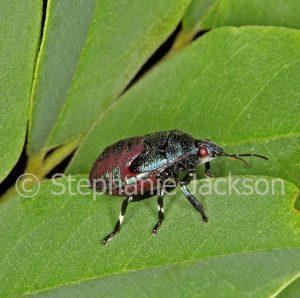 Spined predatory shield bug, Oechalia schellenbergii, on green leaf in a garden in Queensland Australia