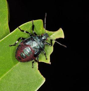 Spined predatory shield bug, Oechalia schellenbergii, fifth instar, on green leaf in a garden in Queensland Australia