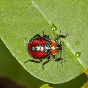 Spined predatory shield bug ,Oechalia schellenbergii, on green leaf in a garden in Queensland Australia