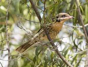 Spiny-cheeked honeyeater, Acanthagenys rufogularis in outback Queensland Australia