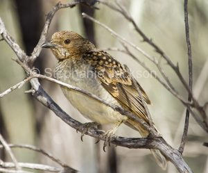 Spotted Bowerbird, Chlamydera maculata, at Culgoa National Park in outback NSW Australia