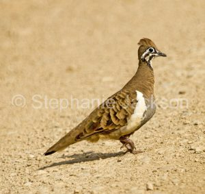 Squatter pigeon, Geophaps scripta, a rare and vulnerable Australian species, in central Queensland.