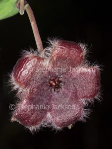 Unusual brown / red furry flower of succulent plant Stapelia obducta on dark background