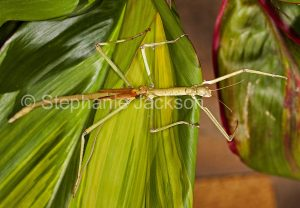 Stick insect on green cordyline leaf in a garden in Queensland Australia.