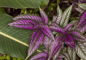 Vivid purple foliage of Strobilanthes dyerianus, Persian Shield plant.