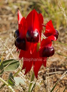 Sturt's Desert Pea, Swainsona formosa, in the Flinders Ranges, outback / northern South Australia. The state's floral emblem.