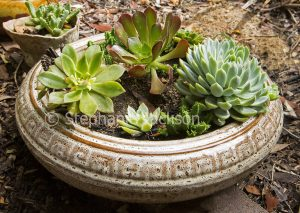 Collection of succulents growing in a shallow container.