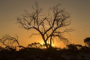 Dead tree silhouetted against colourful sky at sunset near Thargomindah in outback Queensland Australia.