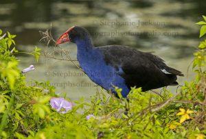 Purple Swamphen, Porphyrio porphyrio, beside a lake in city parklands in Maryborough, Queensland