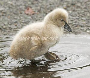 Australian black swan cygnet, baby bird, Cygnus atratus, paddling in a puddle at urban parklands in Gympie Queensland Australia