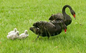Pair of Australian black swans, Cygnus atratus, with cygnets, baby birds in grass at urban parklands in Queensland Australia