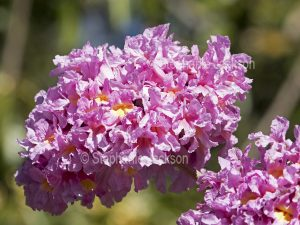 Cluster of pink flowers of Tabebuia impetiginosa, a deciduous species also known as T. palmeri and Handroanthus impetiginosus, Pink Trumpet Tree,