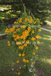 Orange flowers of Thunbergia alata, Black-eyed Susan. an invasive weed in some regions of Australia.