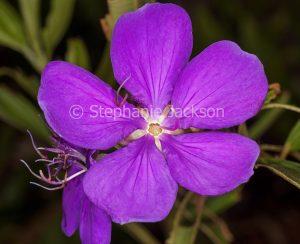 Purple / magenta flower of evergreen shrub Tibouchina 'Alstonville'