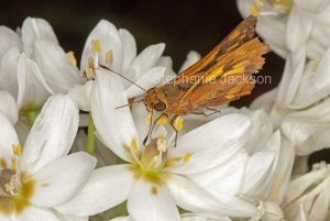 Tiger moth, Amata speceis, on white flowers of Ornithogalum