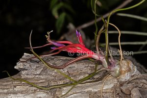 Tillandsia bulbosa, a bromeliad that's commonly known as an air plant, with tiny flowers, growing on a weathered log.