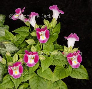 Red / pink and white flowers and bright geen leaves of Torenia fournieri, Wishbone Flower on black background.