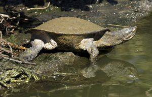 Freshwater Krefft's turtle, Emydura macquarii krefftii, beside and reflected in water of lake in the Bundaberg botanic gardens in Queensland Australia