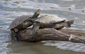 Two freshwater Krefft's turtles, Emydura macquarii krefftii, on a log surrounded by water in the Bundaberg botanic gardens in Queensland Australia