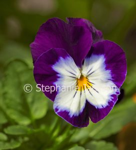 Purple and white flower of Viola cultivar, a pansy on green background