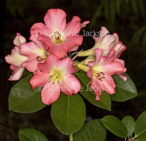 Cluster of pink flowers of Vireya Rhododendron 'Strawberry Parfait' on dark background
