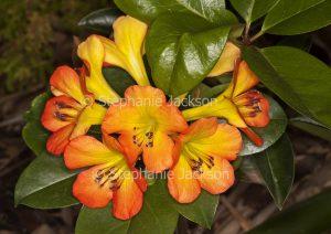 Orange and yellow flowers of Vireya Rhododendron 'Blaze of Glory'